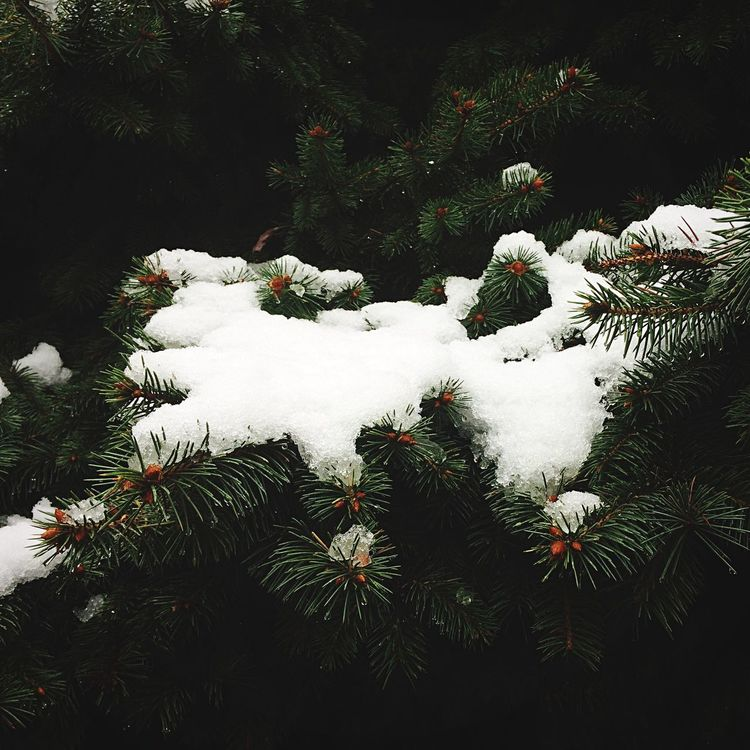 Plant Growth Nature Tranquility Day Beauty In Nature Outdoors Scenics Garden Tranquil Scene Fragility Green Color WoodLand Pine Tree Thorn No People Formal Garden Snow Snow In October