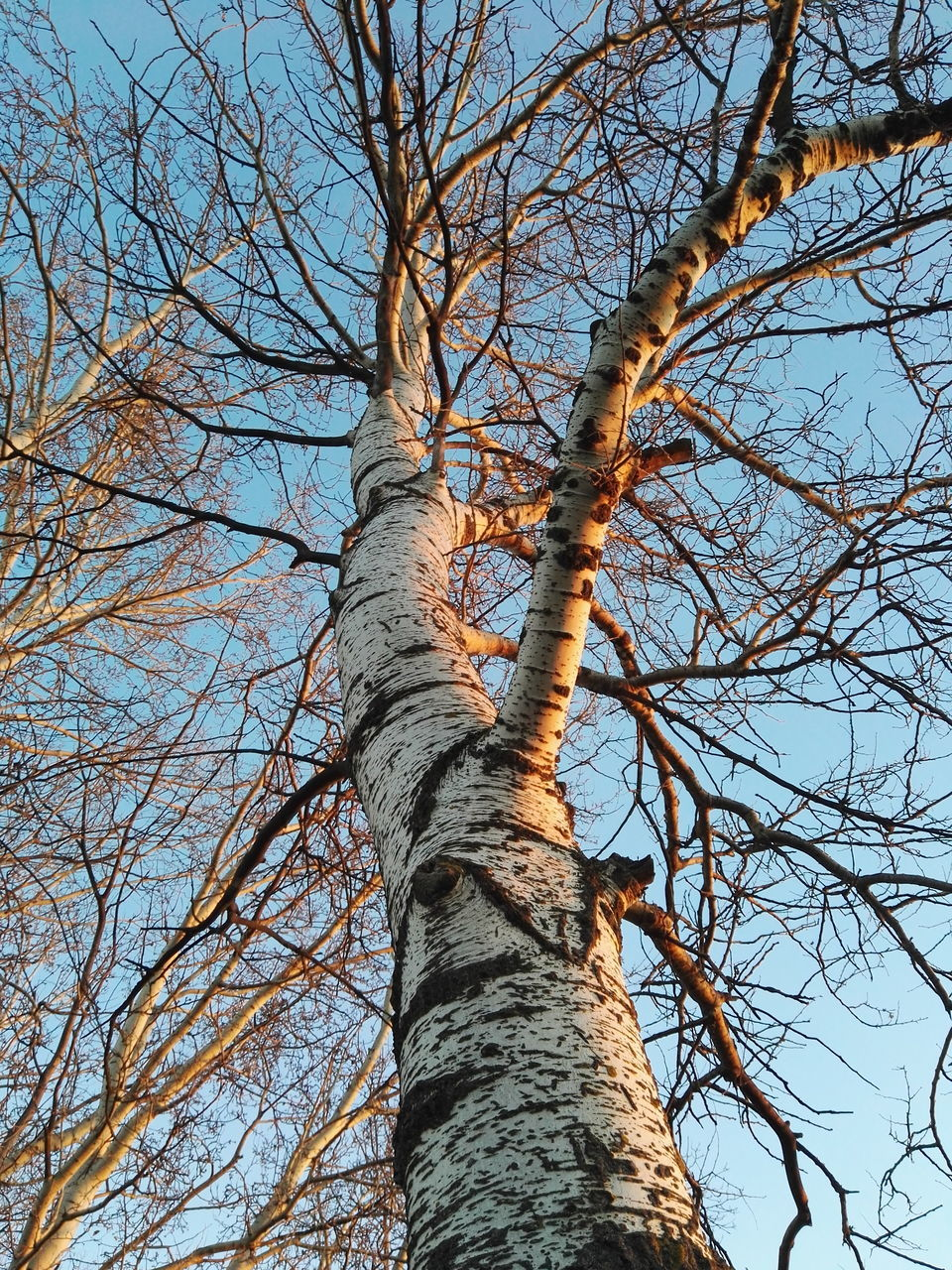 tree, tree trunk, bare tree, low angle view, branch, nature, day, outdoors, tranquility, beauty in nature, sky, no people