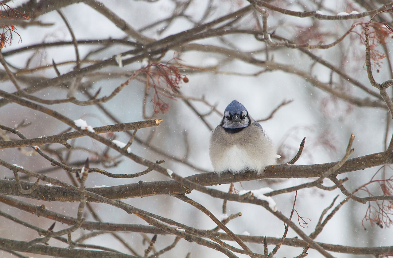 Animal Themes Animal Wildlife Animals In The Wild Avian Bare Tree Beauty In Nature Bird Blue Jay Branch Cold Cold Temperature Feathers Frigid Grumpy Nature One Animal Outdoors Perching Snow Tree Winter