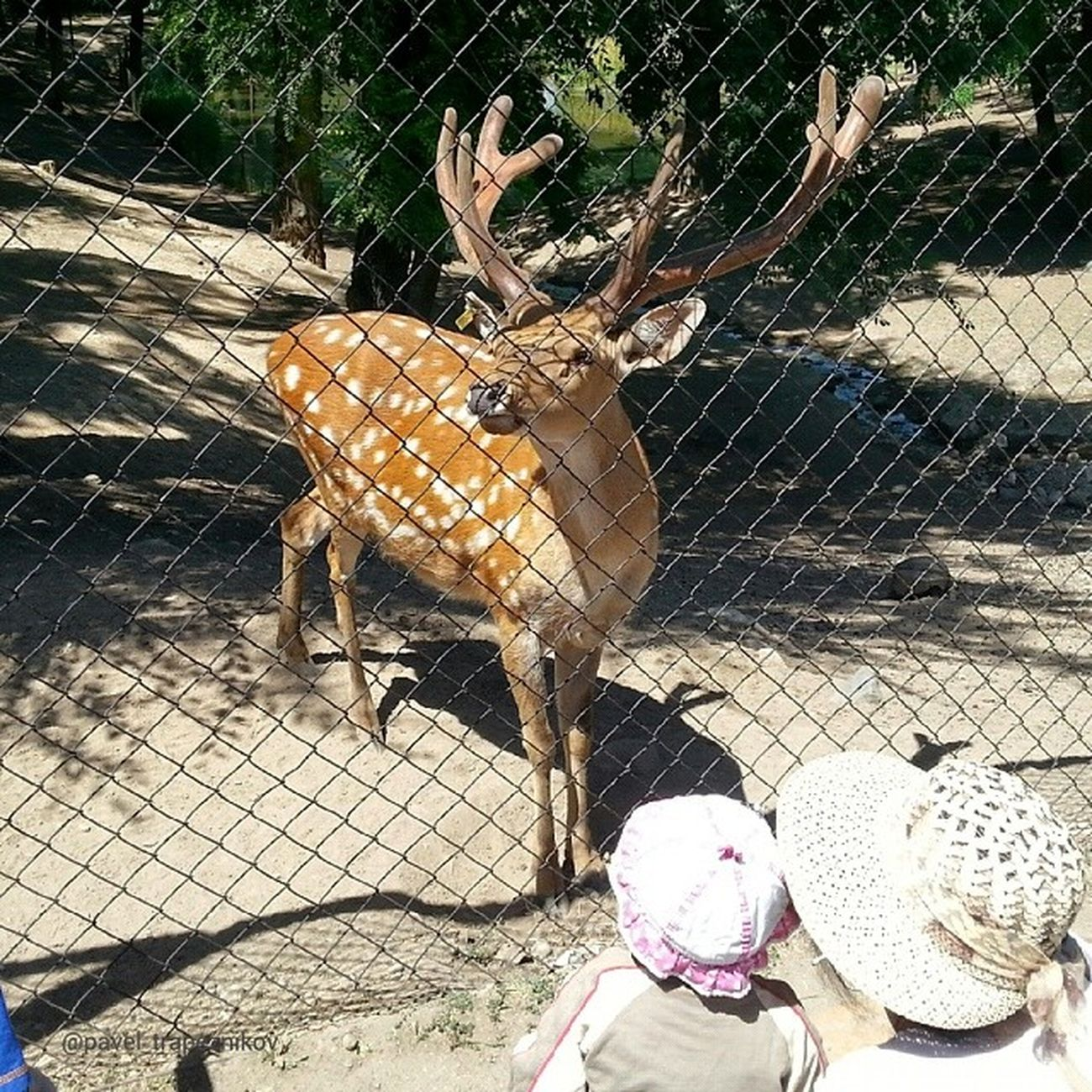 20140730 , Казахстан , алматы . Алматинский зоопарк . Пятнистый олень/ Kazakhstan, Almaty. Almaty Zoo. Sika deer.