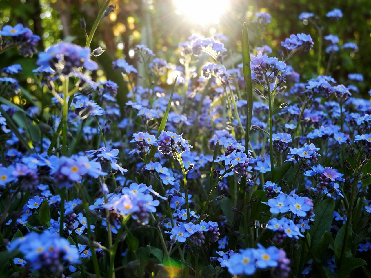Beauty In Nature Close-up Day Field Flower Flower Head Fragility Freshness Growth Nature No People Outdoors Plant Sun Sunbeam Sunlight Spring Sunlight Through Flowers Blooming Myosotis Forget-me-not Vergissmeinnicht Forget Me Not Blue Blue Flowers