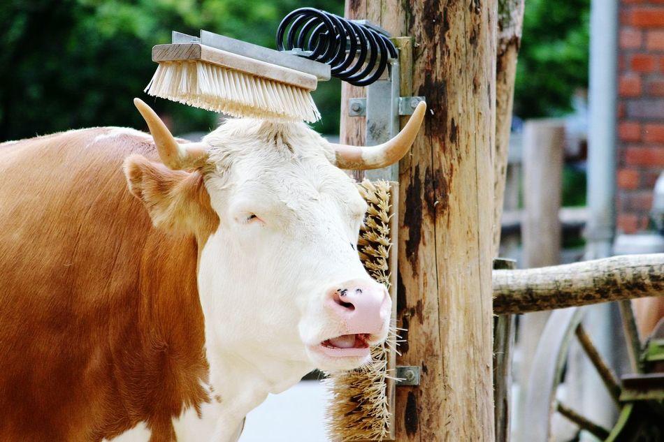 Beautiful stock photos of kühe, Animal Themes, Brown, Brushing, Care