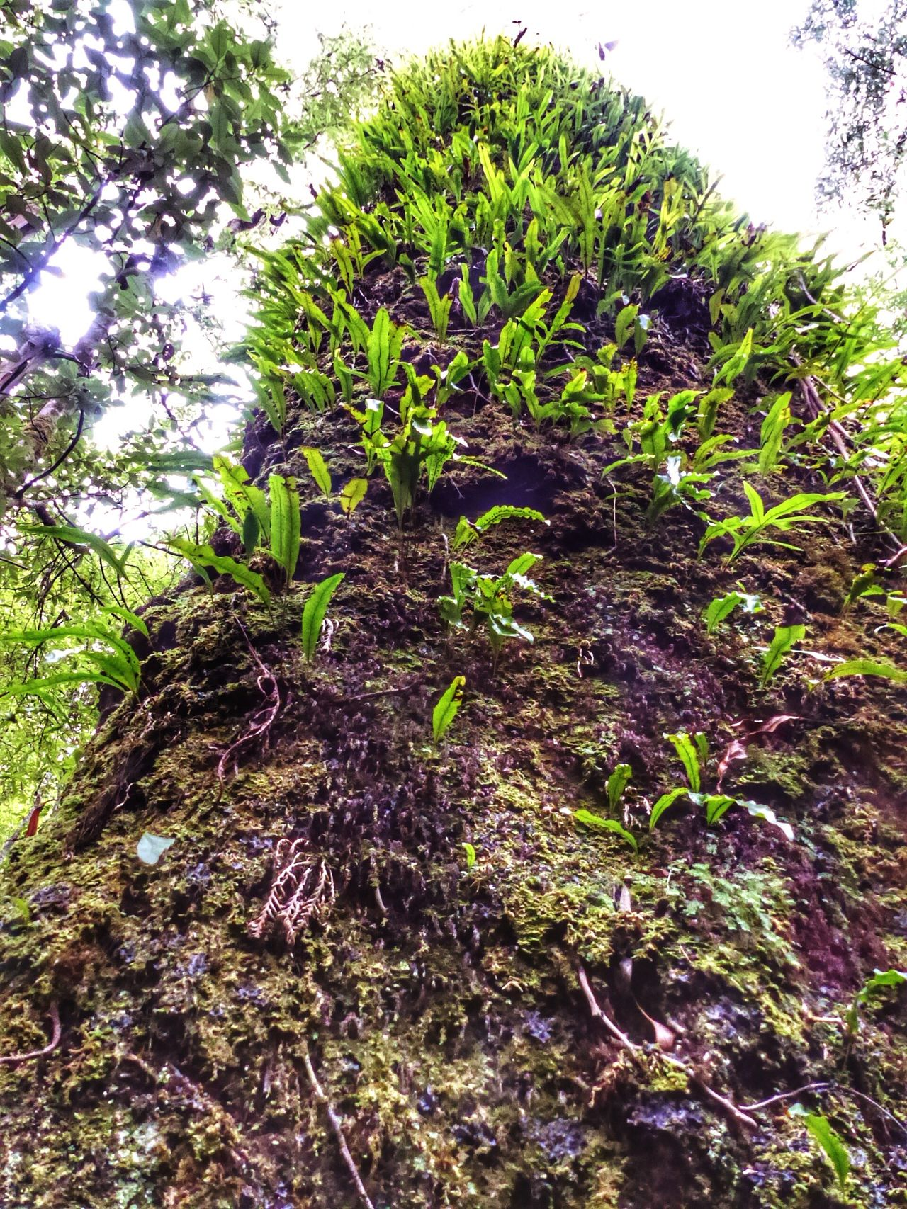 Leaves Trees And Sky Beauty In Nature Close-up Growth Nature Environment Day Outdoors Tree Green Color Tree Trunk Nature Photography New Growth Green Leaf Tree And Sky Rainforest Walks Rainforest Mossy Tree Moss-covered Lookingup