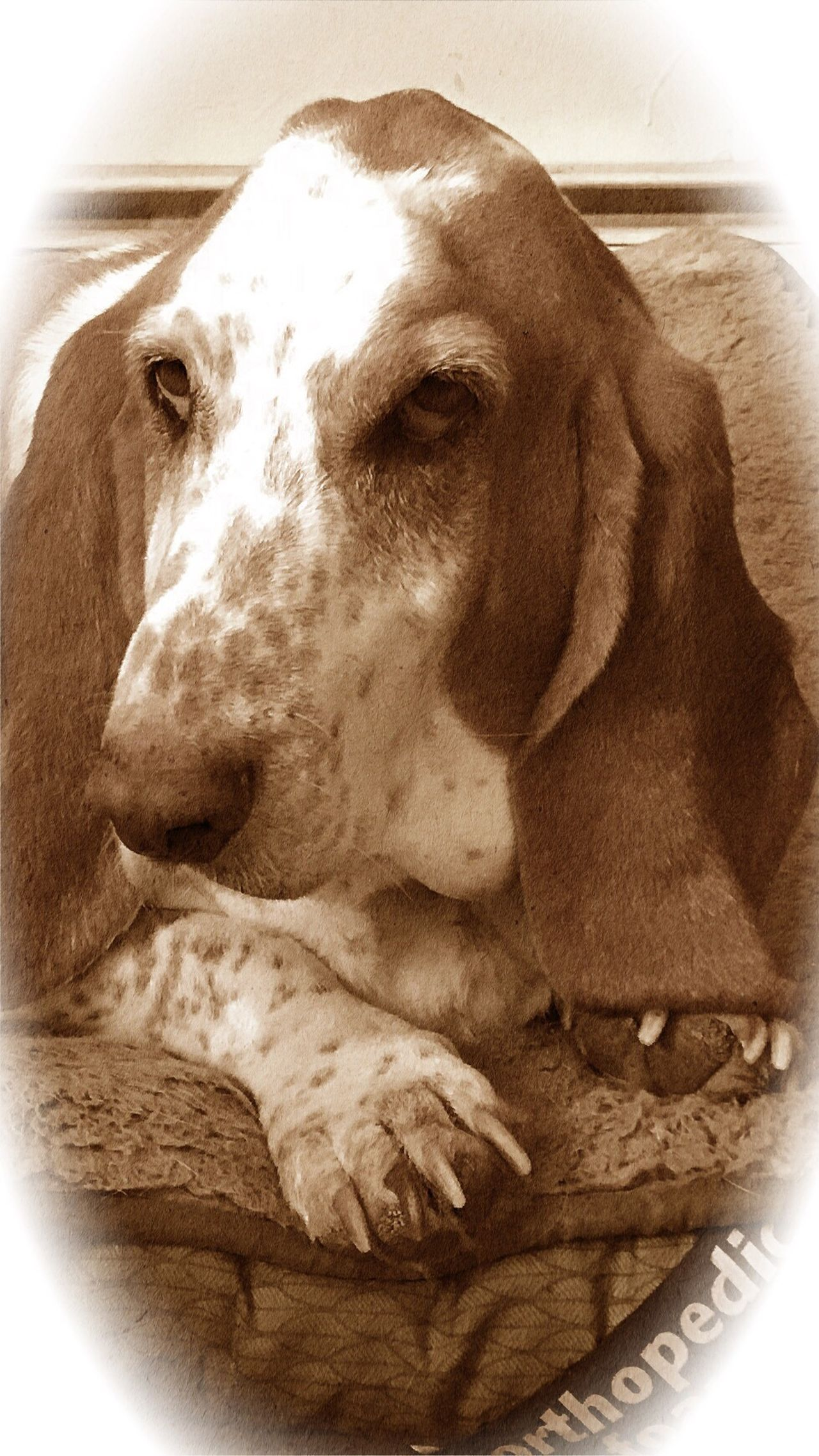Love Him Domestic Animals One Animal Close-up Pets Indoors  Iphone7 Camerafilters Iphonephotography Ilovemybassethounds Bassethoundsare Best Rescuedbassethound Bassetmoments Looking At Camera Upclose And Personal