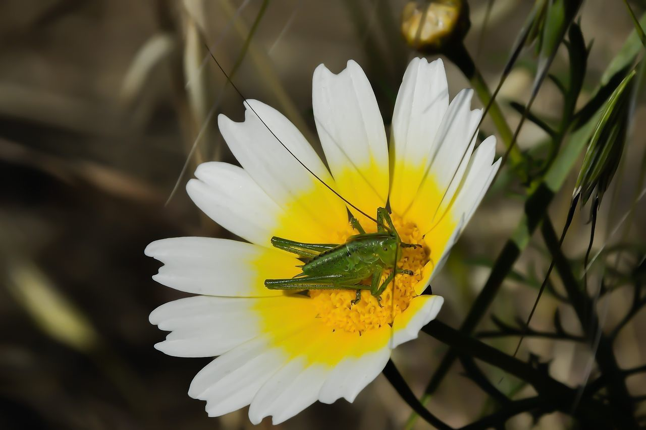 Animal Themes Animal Wildlife Animals In The Wild Beauty In Nature Close-up Flower Flower Head Fragility Freshness Grasshopper Nature One Animal Outdoors Petal White Color Yellow