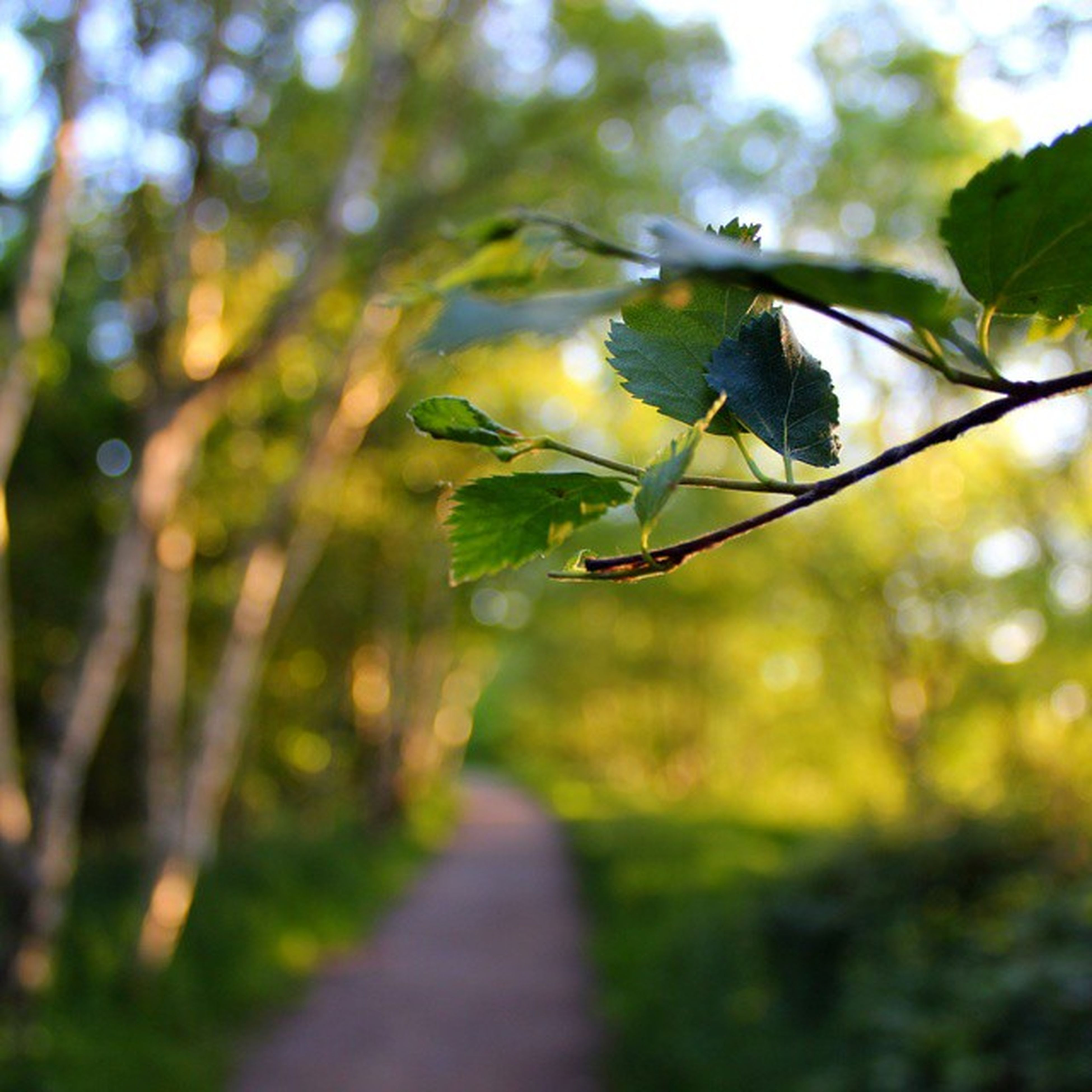leaf, tree, the way forward, growth, focus on foreground, green color, selective focus, nature, branch, plant, sunlight, diminishing perspective, tranquility, day, no people, outdoors, close-up, beauty in nature, forest, one animal