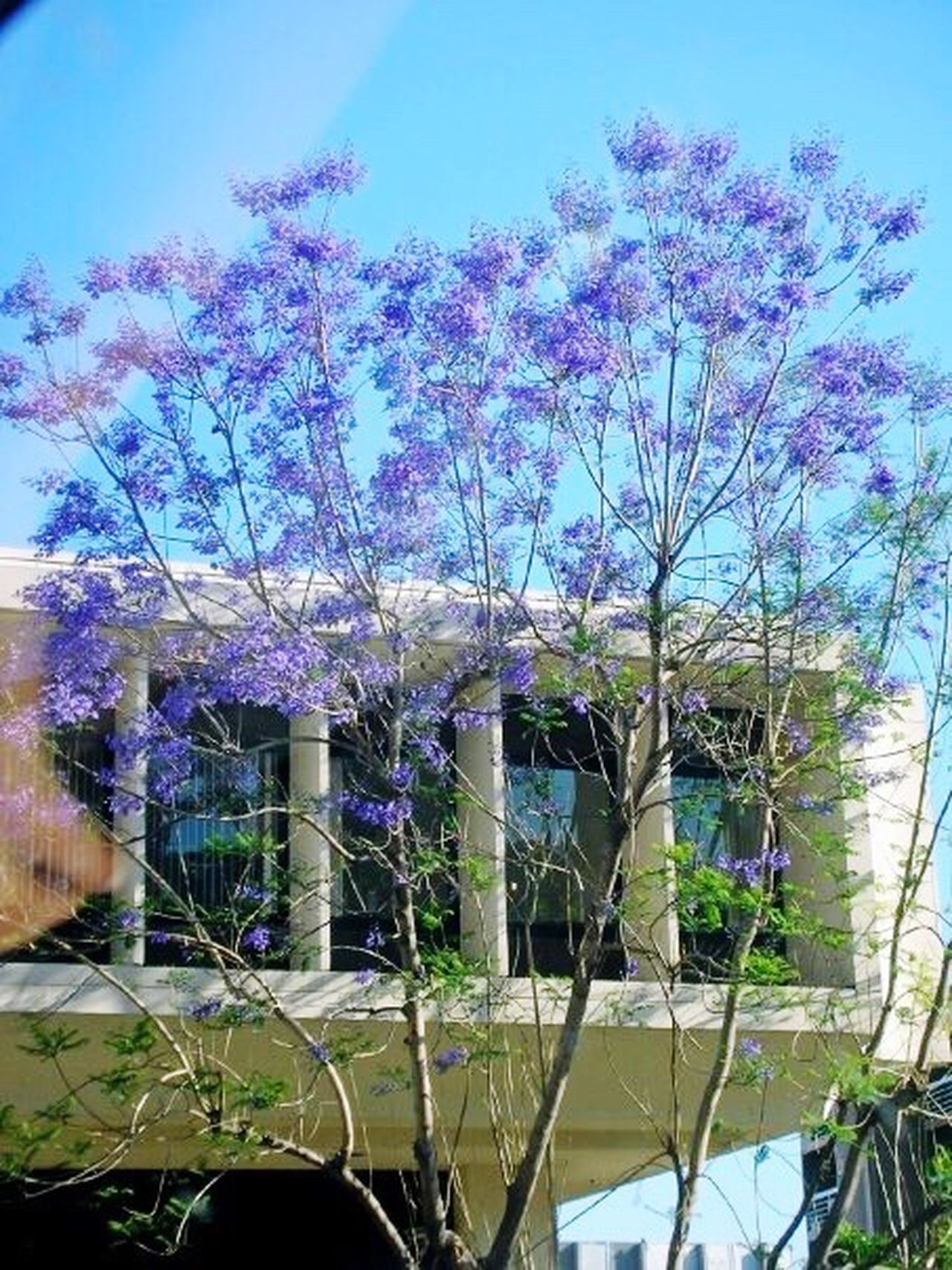 Losangeles Lalaland Purple Trees House Architecture