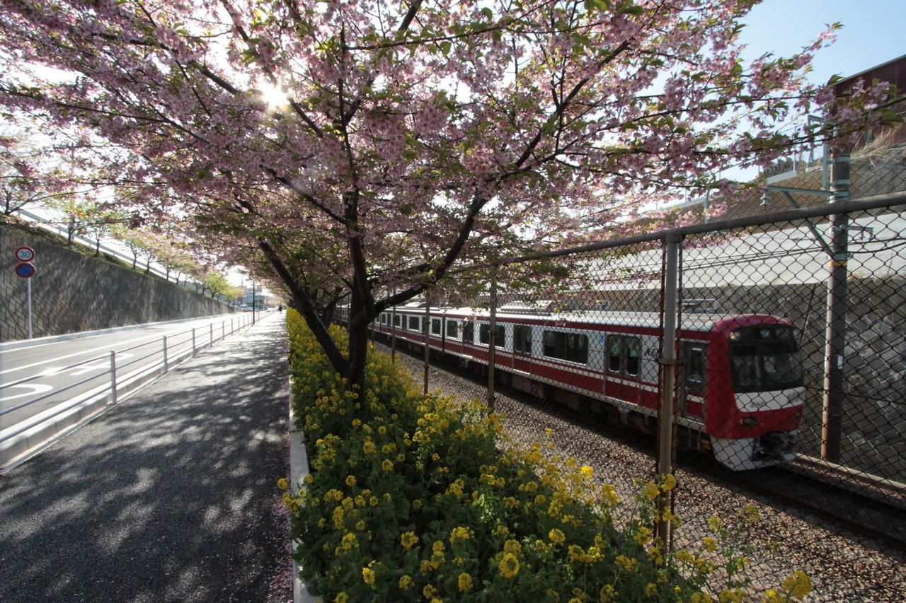 Tree Transportation Mode Of Transport Public Transportation Growth Flower Rail Transportation Cherry Blossom Nature Outdoors Day No People 神奈川 三浦海岸 川津桜 菜の花 京浜急行