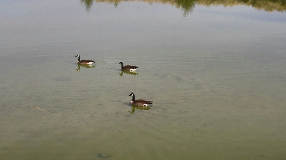 Animal Wildlife Animals In The Wild Canadian Goose Lake No People Three Girls Three Items Trip