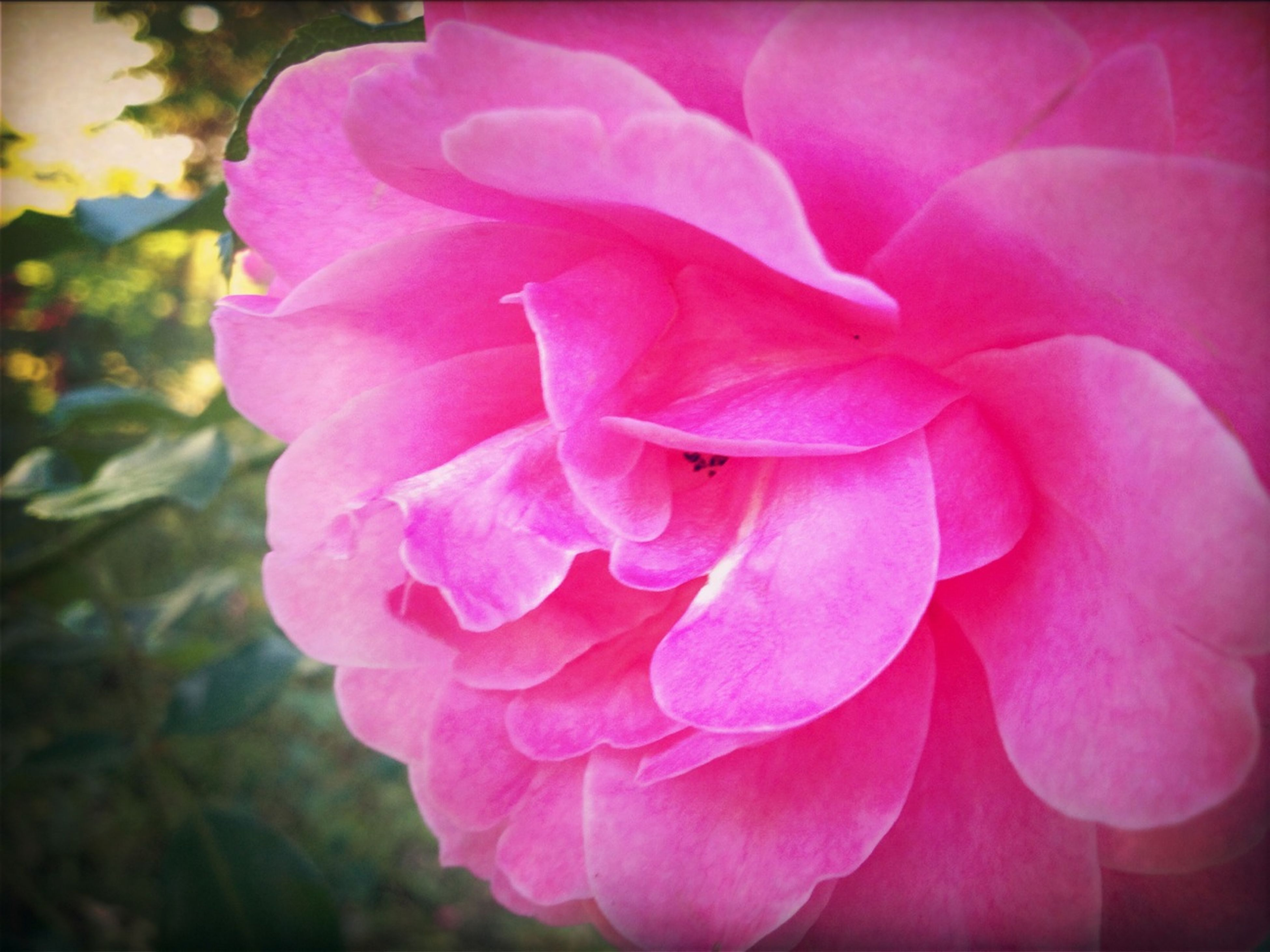 flower, petal, freshness, flower head, fragility, pink color, beauty in nature, growth, close-up, rose - flower, nature, blooming, single flower, pink, focus on foreground, in bloom, plant, blossom, rose, natural pattern