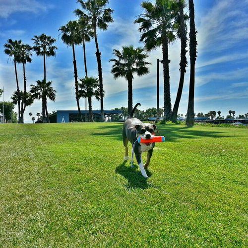 Playing fetch Dog Pitbull Enjoying The Sun Playing Fetch