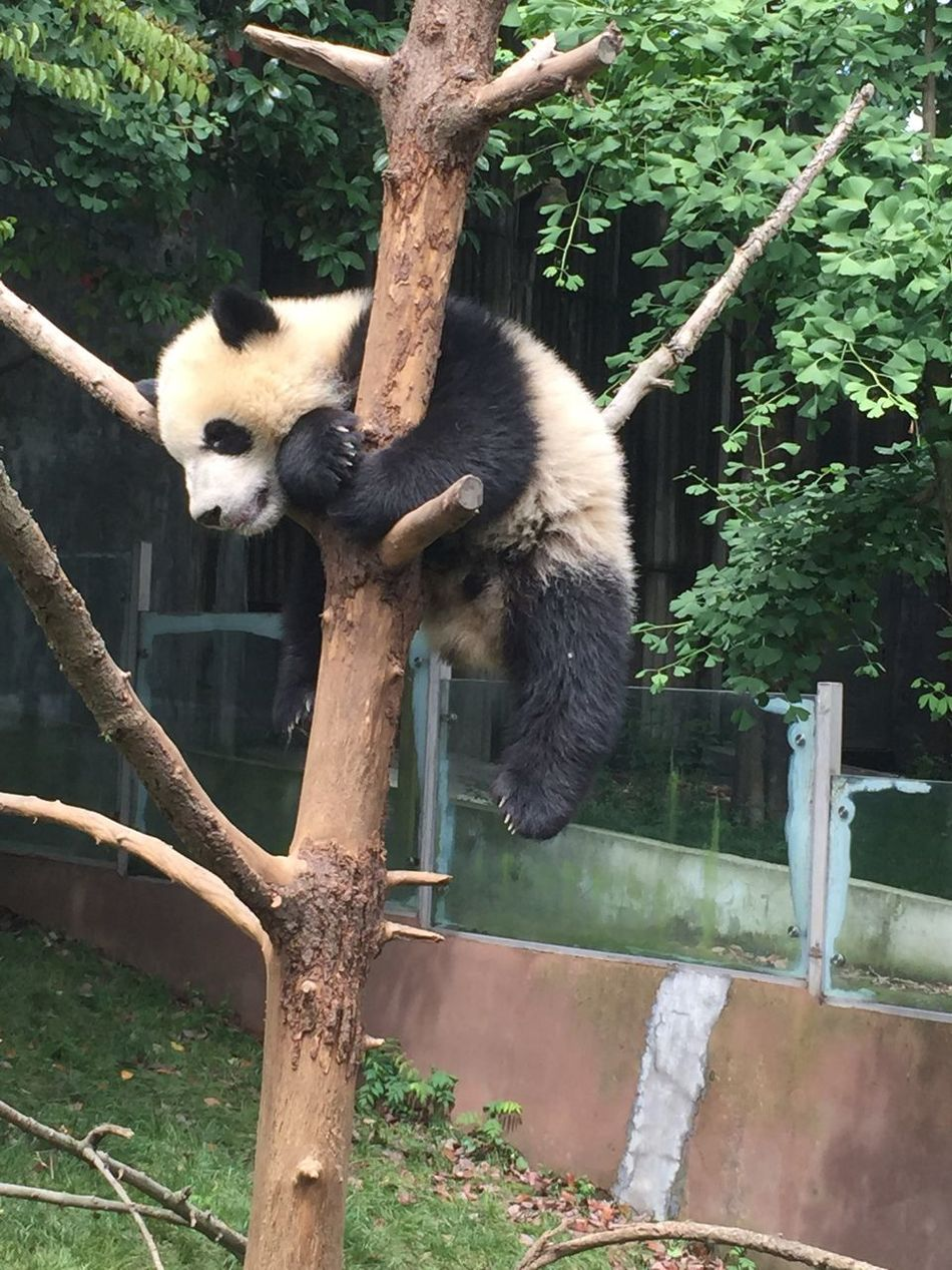 I want sleep , becuse I am baby Panda Panda Enjoying The Sun Have A Nice Day♥ Relaxing Little Exceptional Photographs Yammy!!  Excercising Walking Around Sleeping Sleep