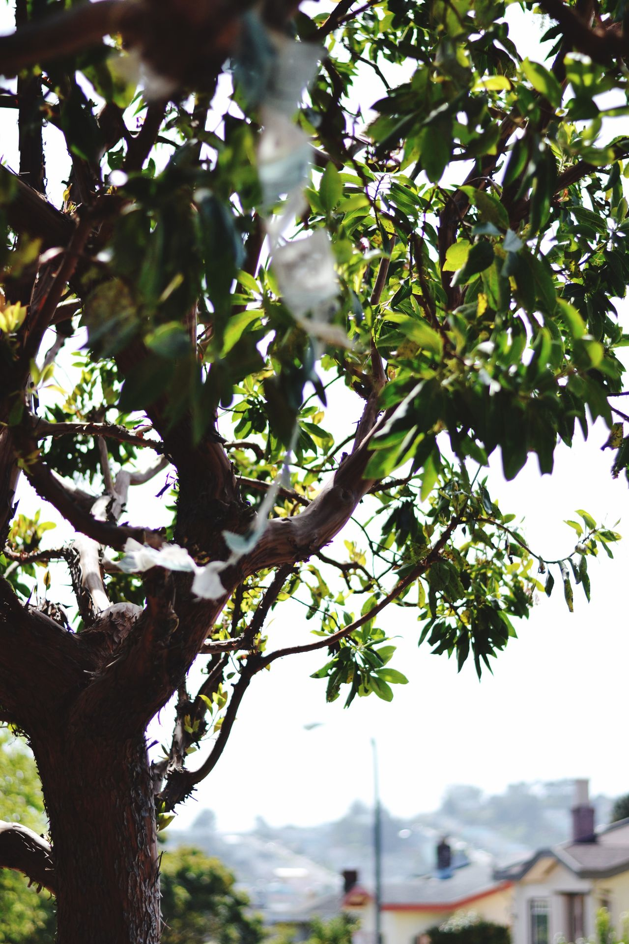Growth Tree Nature No People Branch Outdoors Fruit Close-up Tranquility Day Beauty In Nature Sky Freshness San Francisco Bay Area