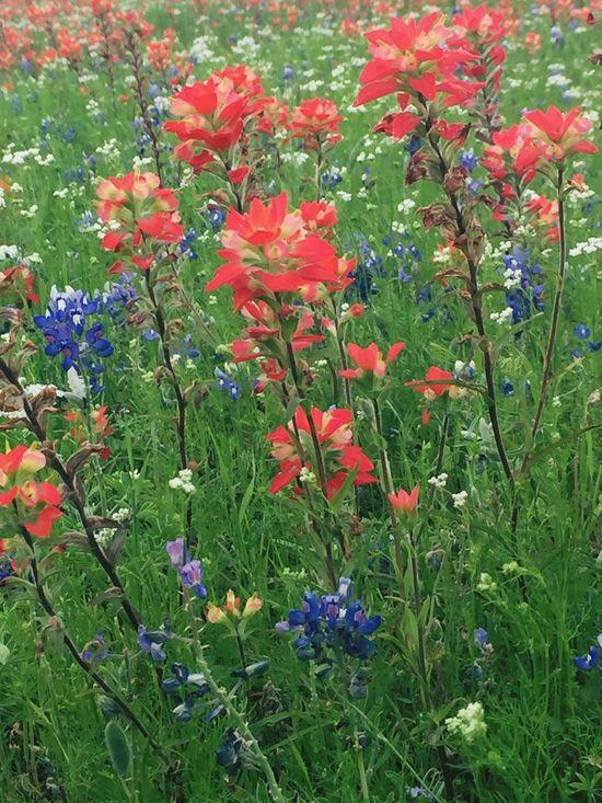 Texas Landscape Texas Bluebonnets Bluebonnets Flowers Nature_collection Nature Nature Photography Texas IPhoneography Iphonephotography EyeEm