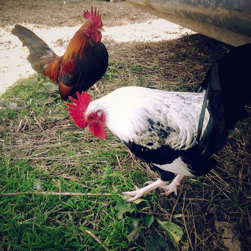 They think they're tough.. Chickens Bantams Roosters Farm Life