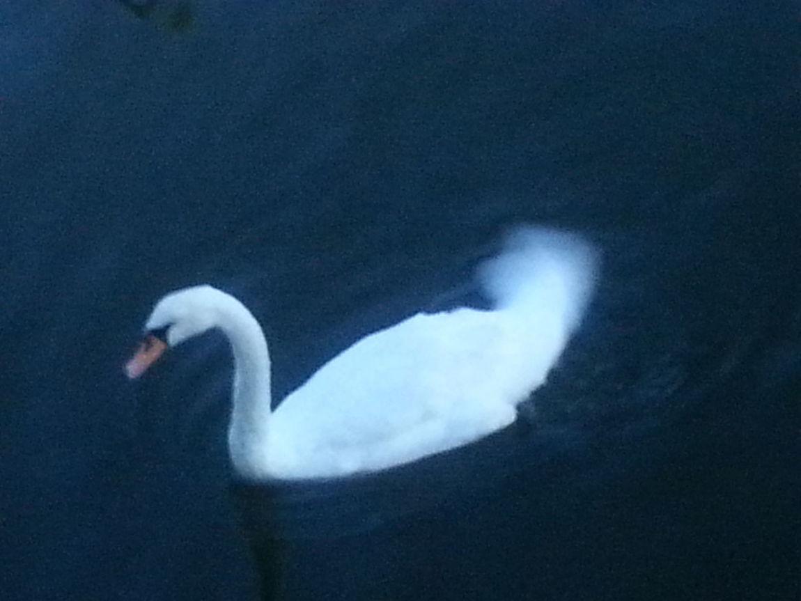 Swan Taking Photos Check This Out Sheepshead Bay Brooklyn Nyc