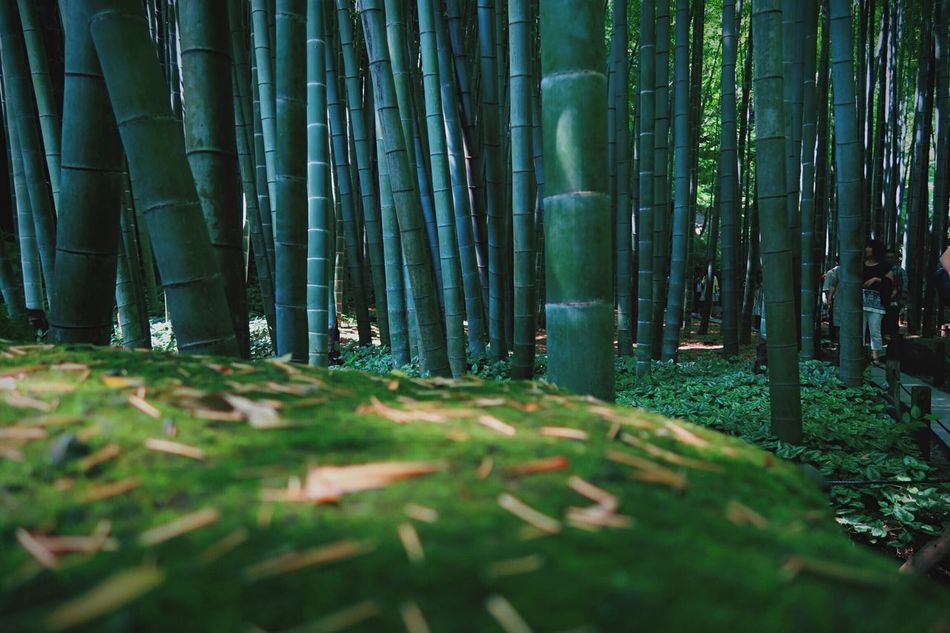 Beautiful stock photos of green, Bamboo - Plant, Day, Formal Garden, Growth