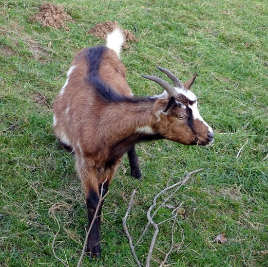 Animal Themes Day Domestic Animals Field Grass Green Color Kid Goat Landscape Mammal Nature No People Outdoors