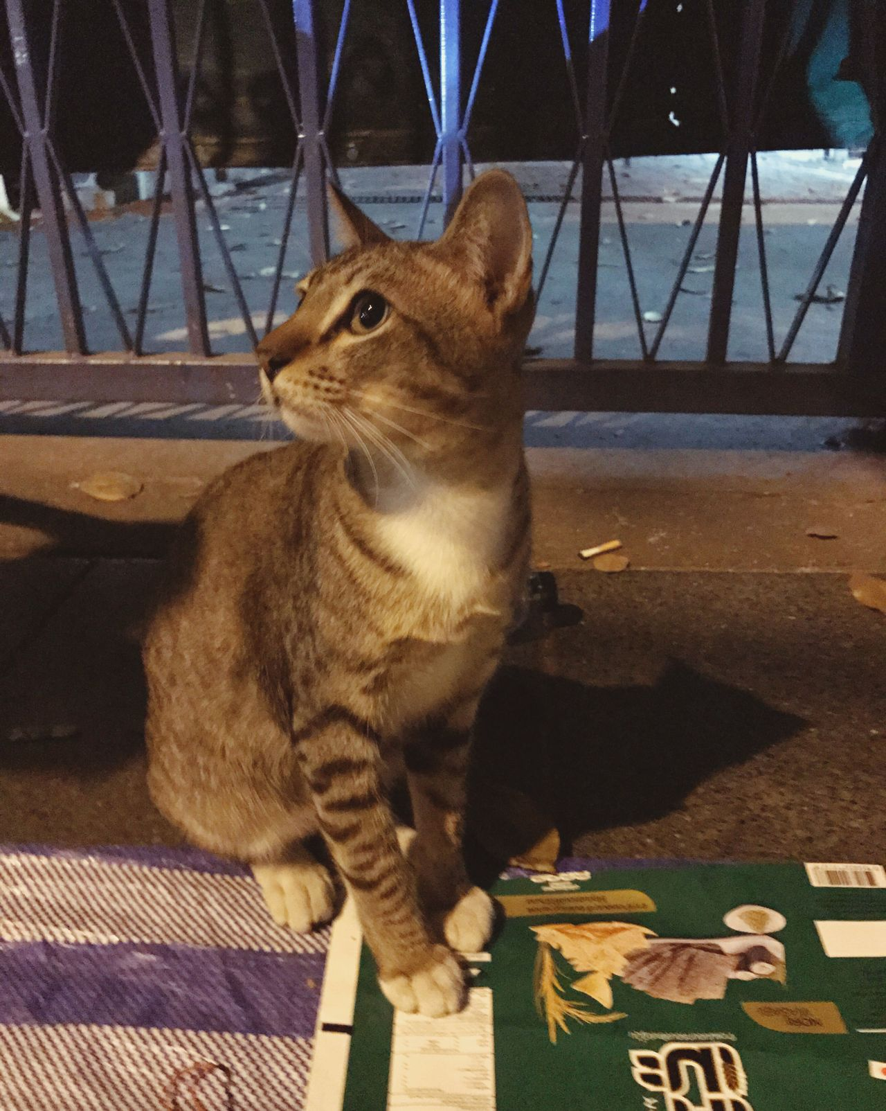 แมวริมถนน Domestic Cat One Animal Animal Themes Domestic Animals Mammal Feline Pets Sitting Cat No People Indoors  Close-up Day Cat Watching Cats Of EyeEm Cat Eyes Cat Lovers Cat♡ Cats Looking At Camera At Street :)