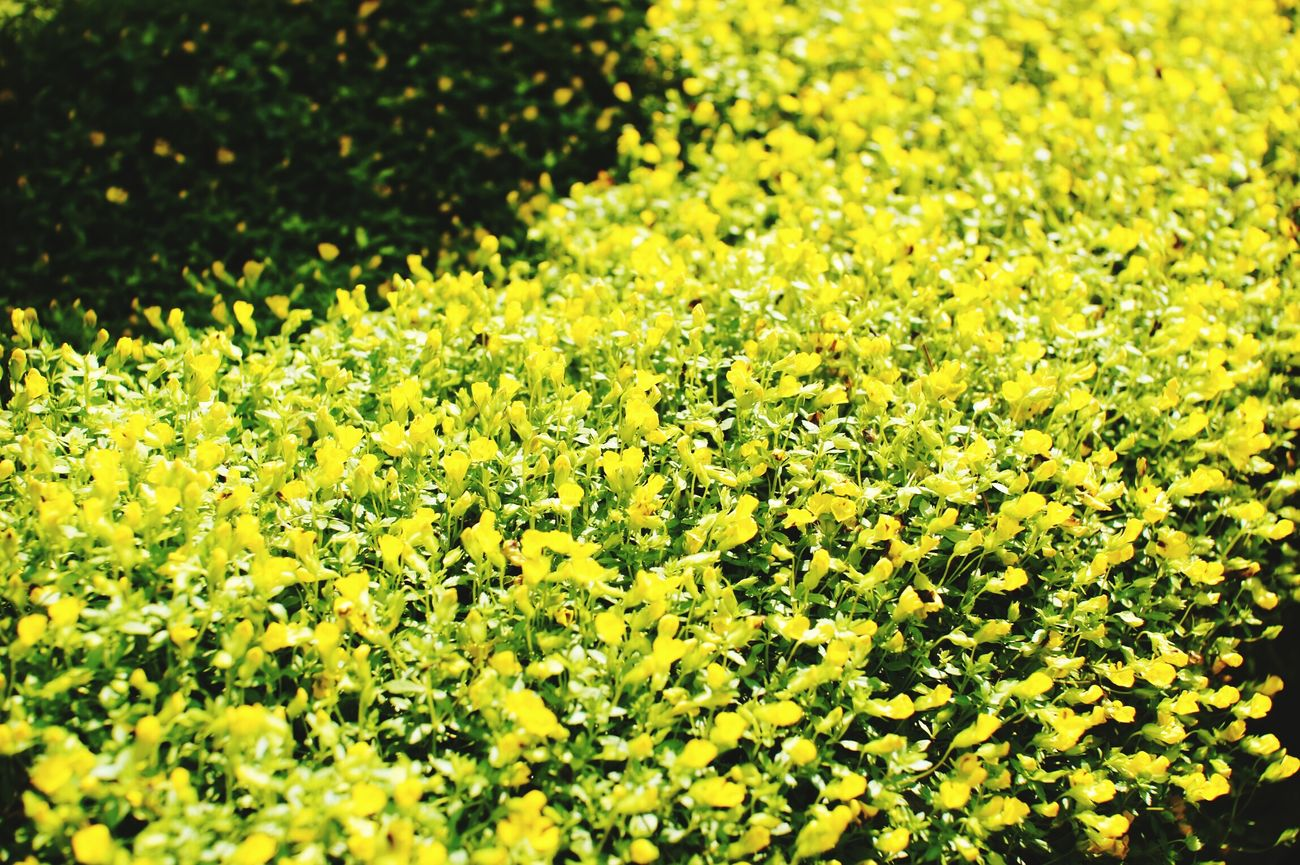 Still Life Follower Followers Yellow Flowers Tiny Followers Outdoors Outdoor Photography Outdoor Sunny Day A33 Sony A33 My Photos My Photo My Photography