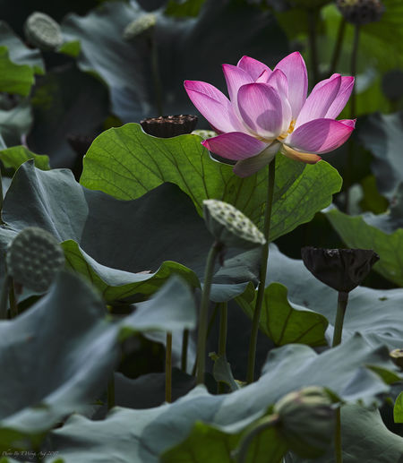 Beauty In Nature Blooming Blurred Background Photography Close-up Day Flower Flower Head Fragility Freshness Green Color Growth Leaf Lotus Water Lily Nature No People Outdoors Petal Pink And Green Plant Water