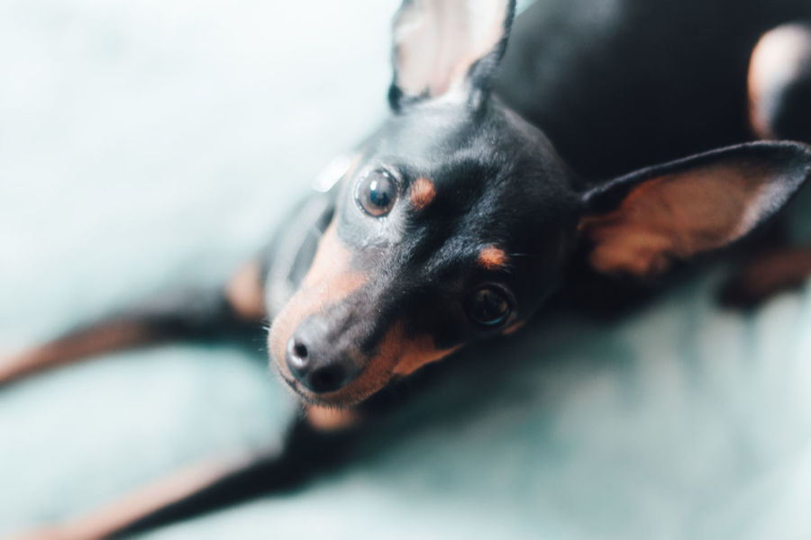 Lighter & Brighter Muted Colors Airy Capture The Moment Summer Dogs Cute Pets EyeEm Best Shots EyeEm Gallery Fresh On Eyeem  Natural Light Portrait Relaxing Simple Moment Animal Portrait Animal Themes Animals Day Directly Above Dog Enjoying Life Blue Lookingup Lovely Miniature Pinscher One Animal Pastel Breathing Space The Week On EyeEm Pet Portraits