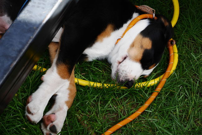 dogs having fun Animal Head  Animal Themes Canine Close-up Dog Dogs Of EyeEm Domestic Animals Grass Grassy Lying Down Napping Napping Dogs No People Outdoors Part Of Pet Collar Pets Puppy Relaxation Resting Sleeping