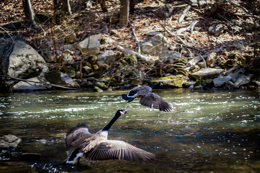 These shots are of Canadian Geese feeding and flying in the Wissahickon creek in Philadelphia, Pennsylvania Animal Themes Animal Wildlife Animals In The Wild Avian Bird Bird Photography Birds Birds_collection Canadian Geese Creek Day Feeding Animals Flight Geese Howard Roberts Nature No People Outdoors Stones & Water Stream Sunlight And Shadow Water Way Forward Wings Spread Wingspan