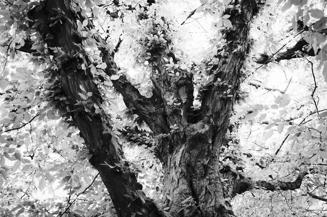 Tree in Brooklyn Botanic Garden, New York - May 2015 - Canon EOS 500D Trees Nature BrooklynBotanicGarden Newyork Bnw Bnw_life Bnw_society Bnw_collection Bnw_captures Shades Of Grey
