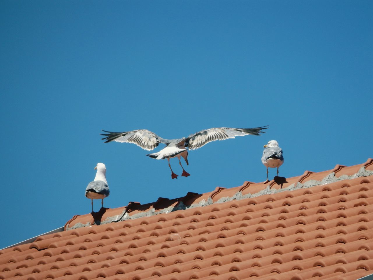 3 seagulls lives in a roof on my doorstep Nature On Your Doorstep Seagulls Landing Leavesonarooftop Roof EyeEm Bird Lover  Bird Photography Sirály Blue Wave