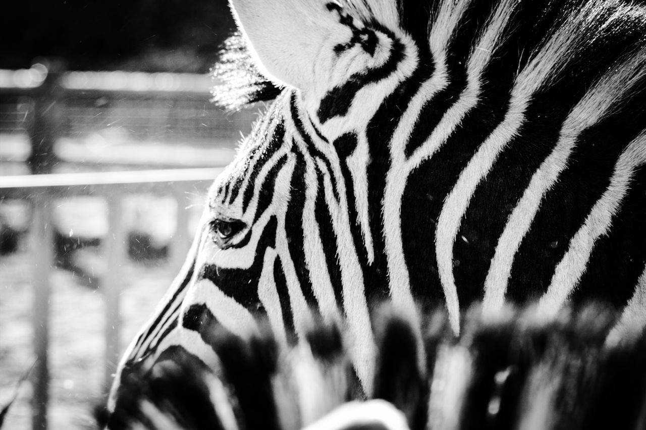Eye4photography  Zebra Lines Monochrome Blackandwhite EyeEm Best Edits EyeEm Best Shots Wildlife EyeEmBestPics Cute Pets