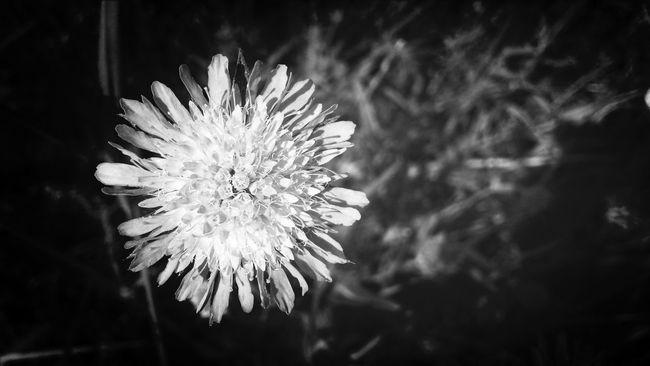 Black And White Nature Flowers Blackandwhite