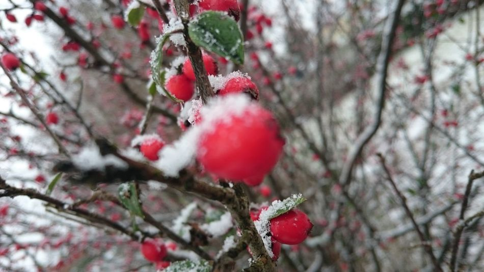 Red Tree Nature Fruit Growth Winter Close-up Branch Beauty In Nature Plant Freshness Berry Fruit Cold Temperature No People Snow Day Berry Berrys Berries On A Branch Berries Winter Snow❄⛄