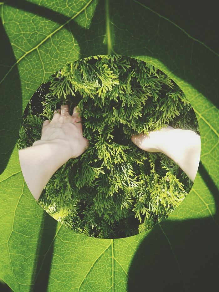 Greenery Green Color Green Cut And Paste Collage Photocollage Leaf Veins Leaf Macro Translucent Leaf Thuja Human Hands Touch Of Nature Man And Nature Green Planet Environmental Portraits Plant Growth The Great Outdoors - 2017 EyeEm Awards Nature Patterns Touch Mix Yourself A Good Time