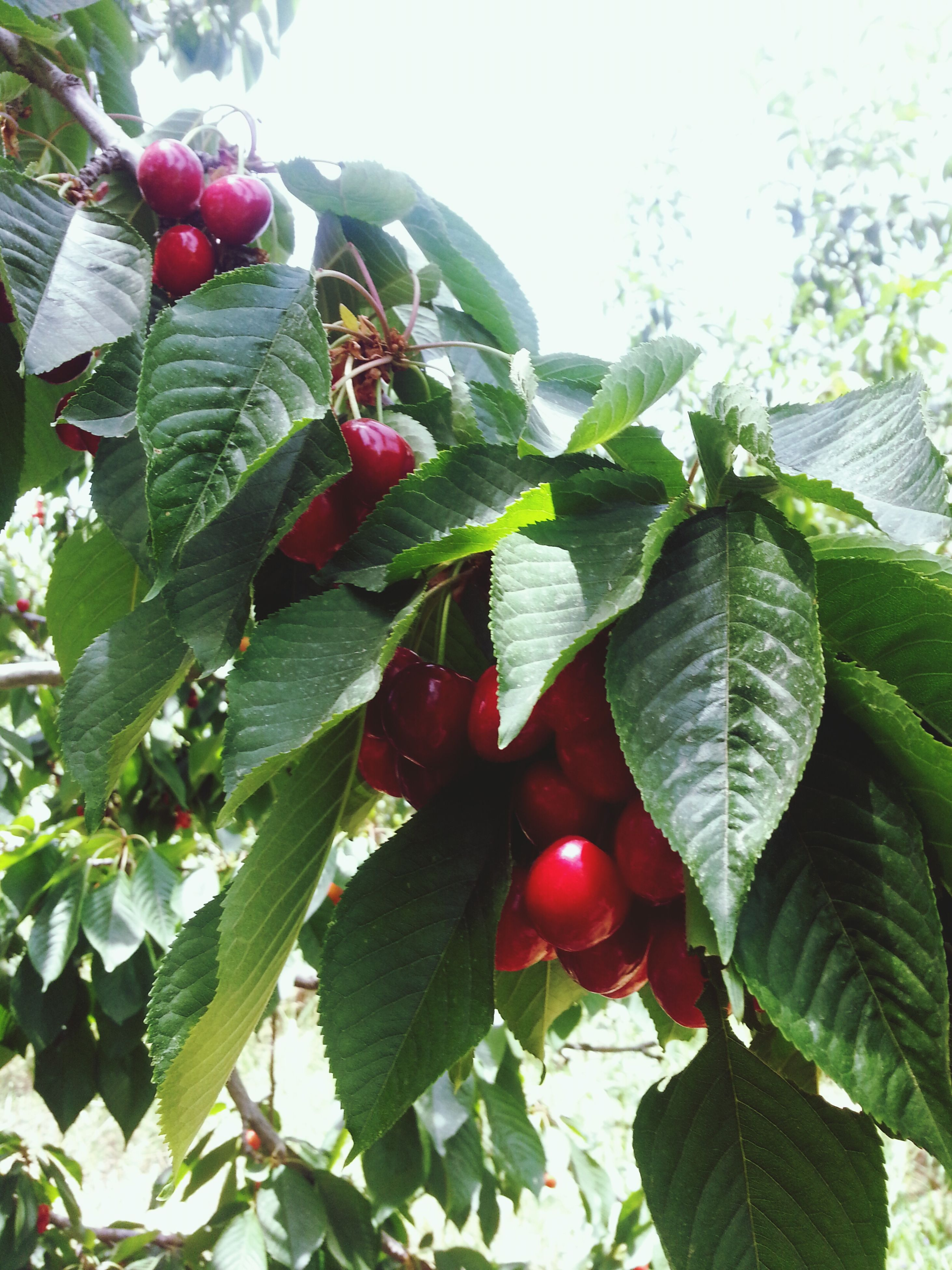 leaf, fruit, freshness, growth, red, food and drink, food, healthy eating, tree, plant, green color, close-up, nature, berry fruit, low angle view, hanging, growing, branch, ripe, focus on foreground