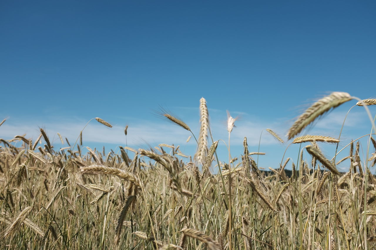 growth, nature, agriculture, cereal plant, field, copy space, crop, clear sky, day, no people, plant, blue, tranquility, rural scene, outdoors, tranquil scene, beauty in nature, ear of wheat, wheat, sky, scenics, close-up