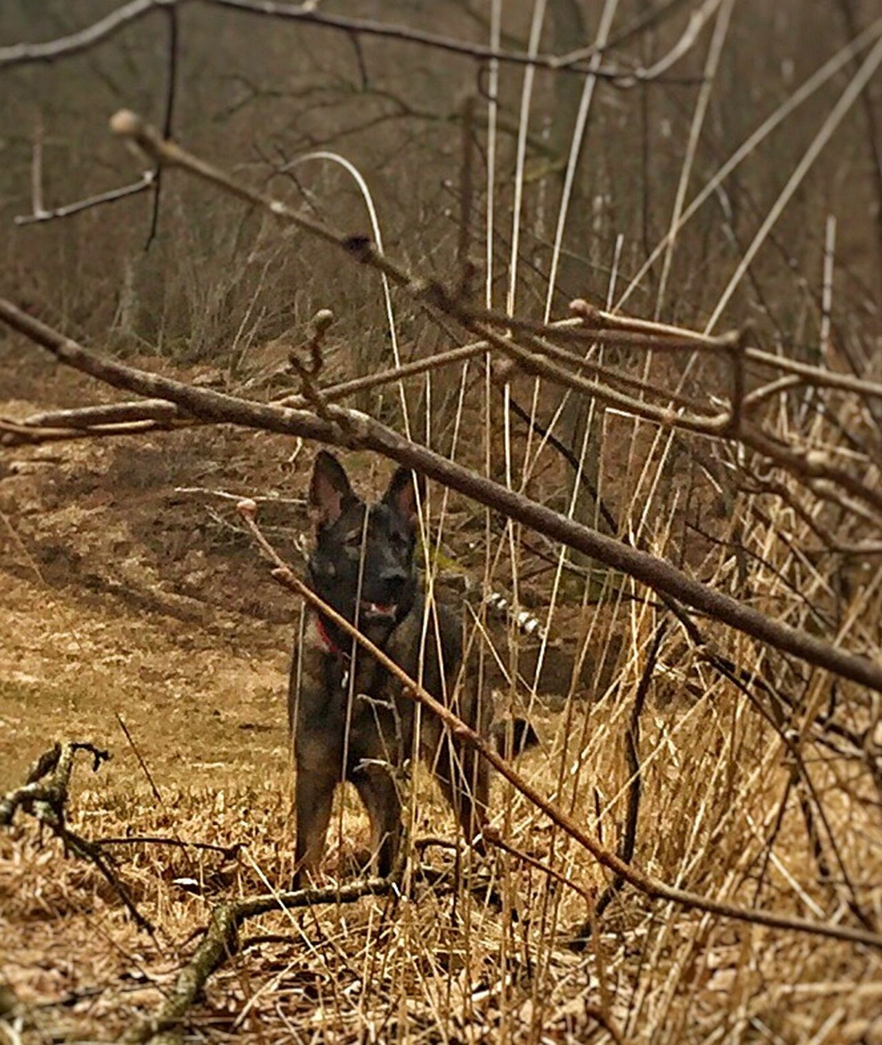Germanshepard Forest Nature Nature_collection Check This Out German Shepherd Life Pepsi Dog Love ♥ Dog❤