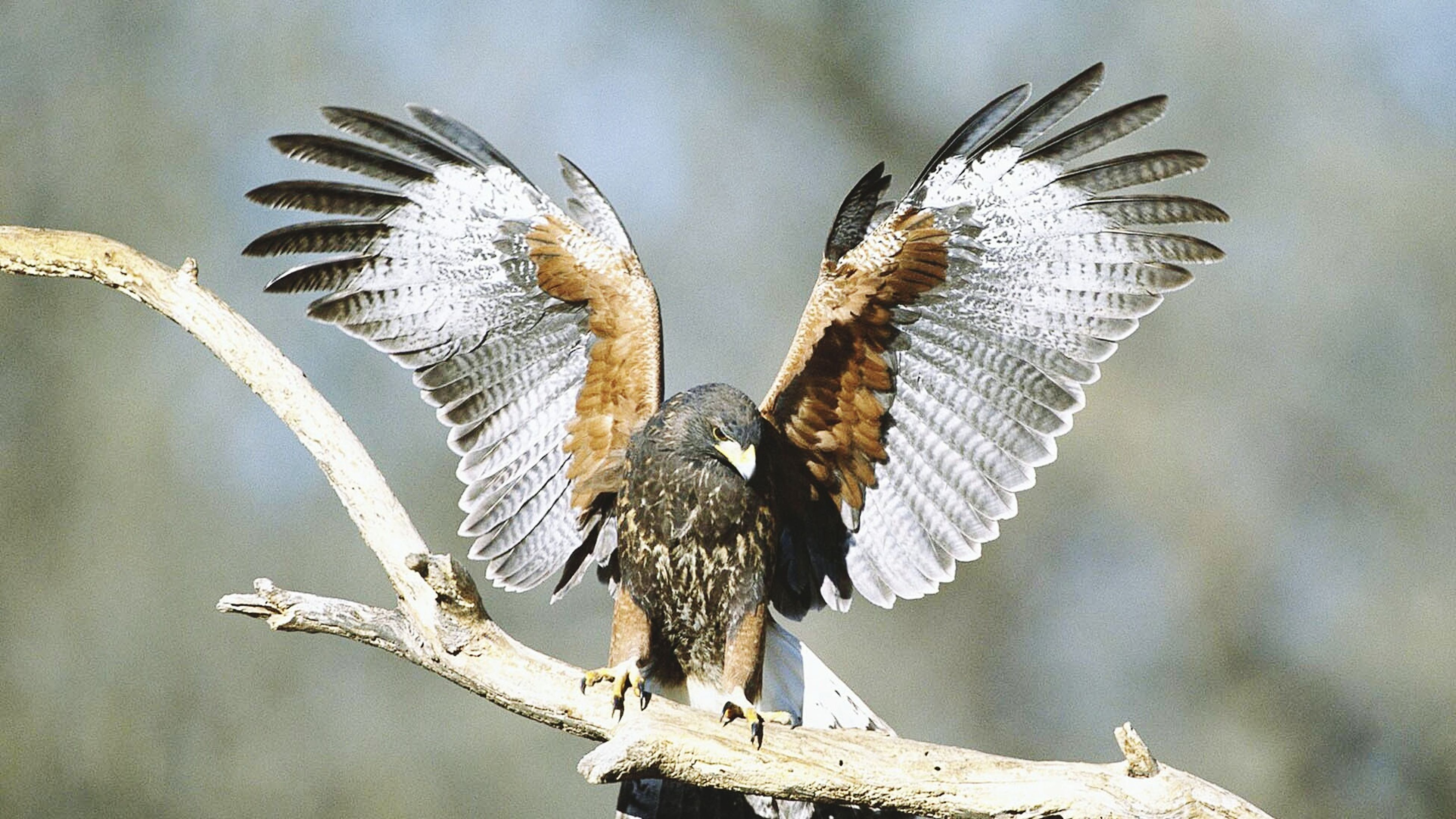 animals in the wild, bird, animal themes, wildlife, spread wings, one animal, flying, focus on foreground, perching, sky, low angle view, close-up, nature, animal wing, day, feather, no people, outdoors, mid-air, beauty in nature