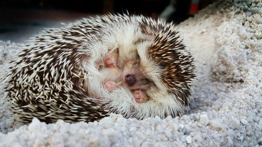 Hedgehog Sleeps On Sand. Leopard Desert Hedgehog Sleeps On Sand. No People High Angle View Human Body Part Close-up Indoors  Pets Mammal One Person Nature One Animal Indoors  People Animal Wildlife Indoors  Prickly Pear Cactus Low Section Indoors  Saguaro Cactus Hristmas Hat Indoors  Outdoors
