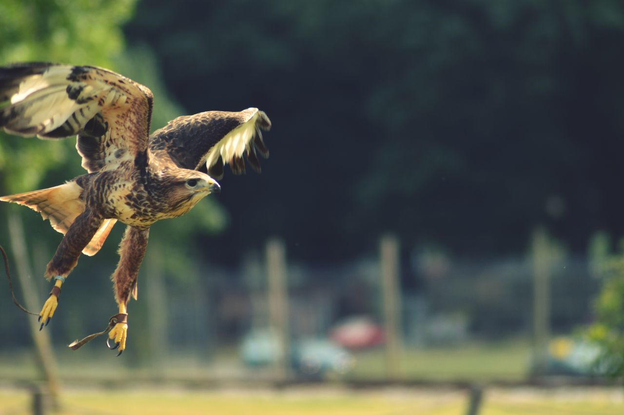 Close-Up Of Hawk Flying