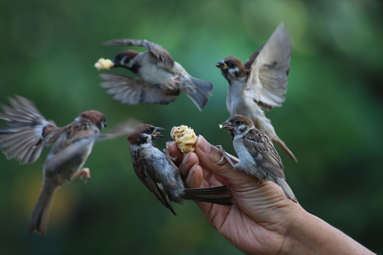 Cropped Hand Feeding Sparrows