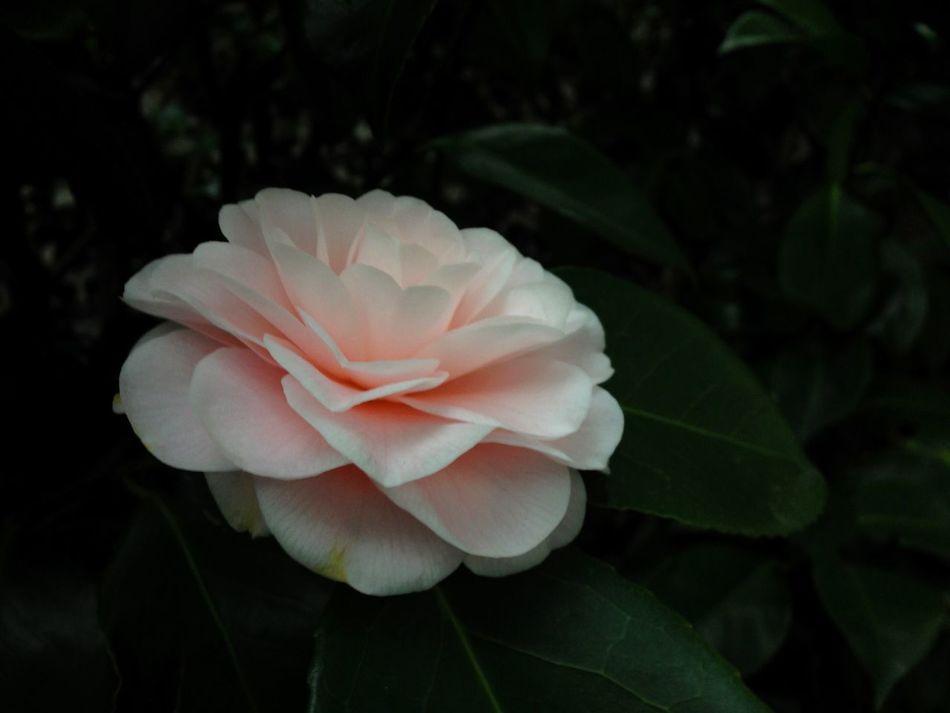 Gardenia blossom on evergreen shrub. fFlowerpPetalFFreshnessbBeauty In NaturefFlower HeadcClose-upNNaturebBloomingnNo PeopleoOutdoorspPink ColorwWhite ColoreEvergreensShrubGardenia