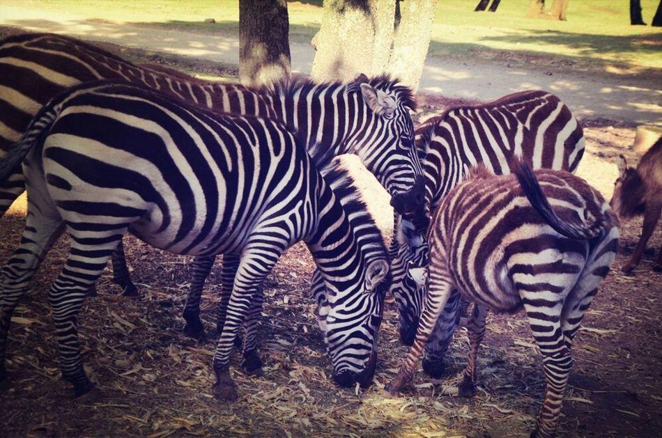 Cebras Taking Photos Zebra Nature Bioparque