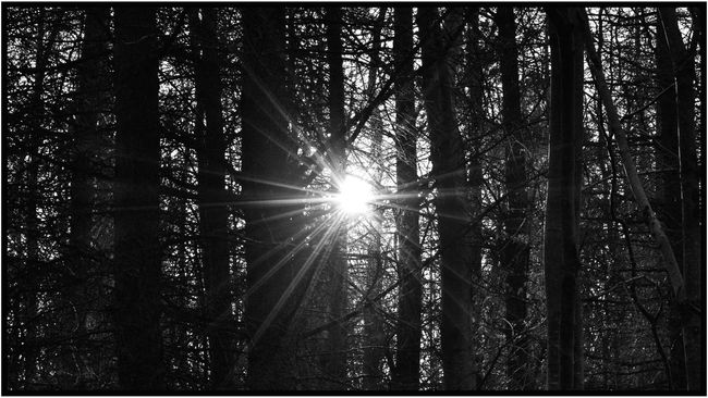 Sun Shine Bright Through Trees Bright Light And Shadow Forest Shining Trees Tree_collection  EyeEm Nature Lover Eyemphotography Eye4photography  EyeEm EyeEm Gallery sun shining at dusk through the trees at EglintonCastle