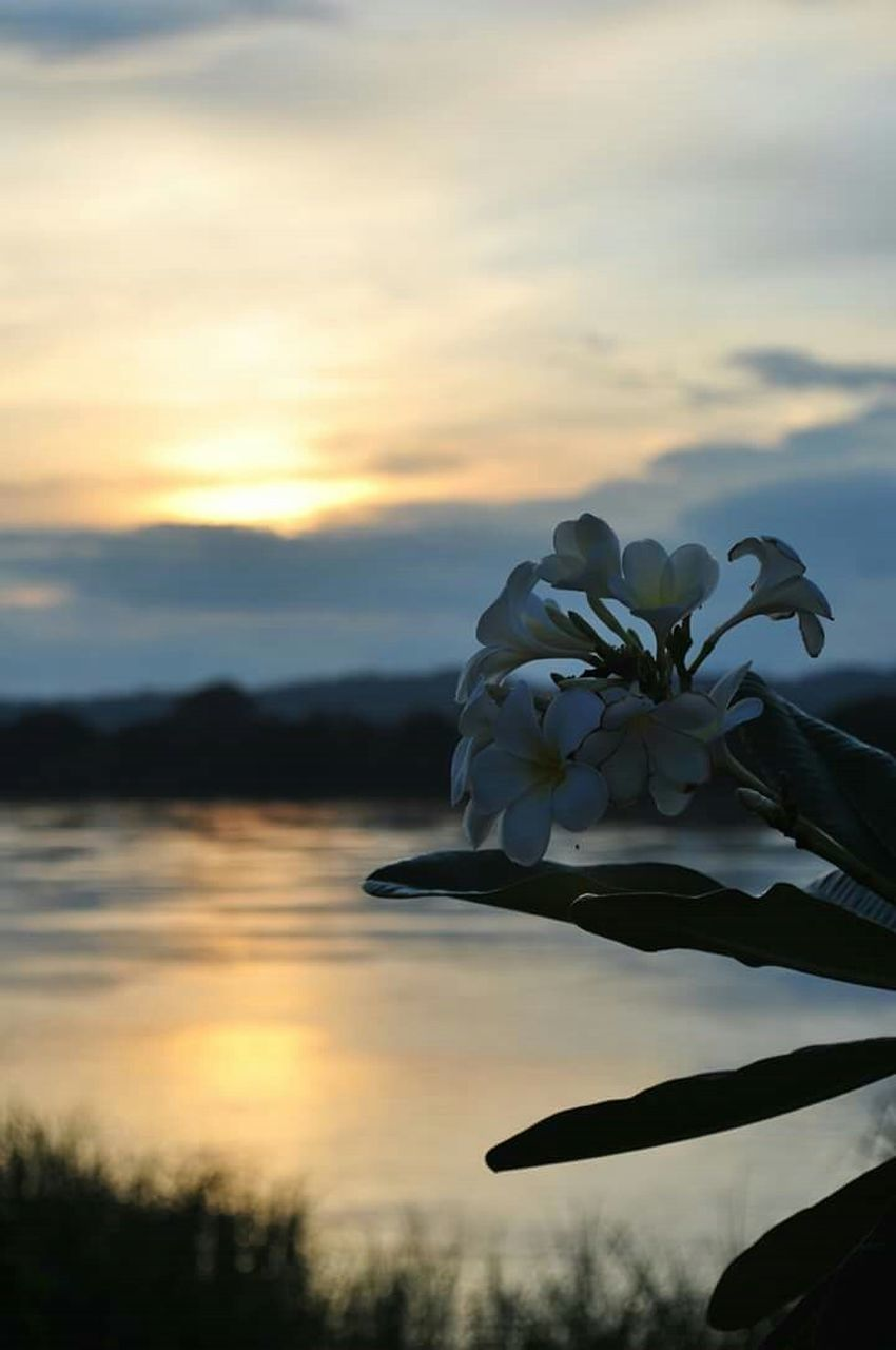 sunset, flower, beauty in nature, nature, sky, petal, fragility, growth, outdoors, cloud - sky, tranquility, scenics, flower head, close-up, human hand, freshness, tree, water, one person, day