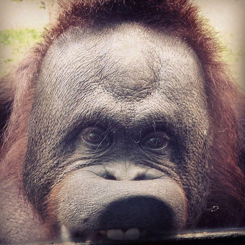 The funniest orangutan I've ever seen. Goofy Buckteeth Lickingwindow Funny toledozoo ???