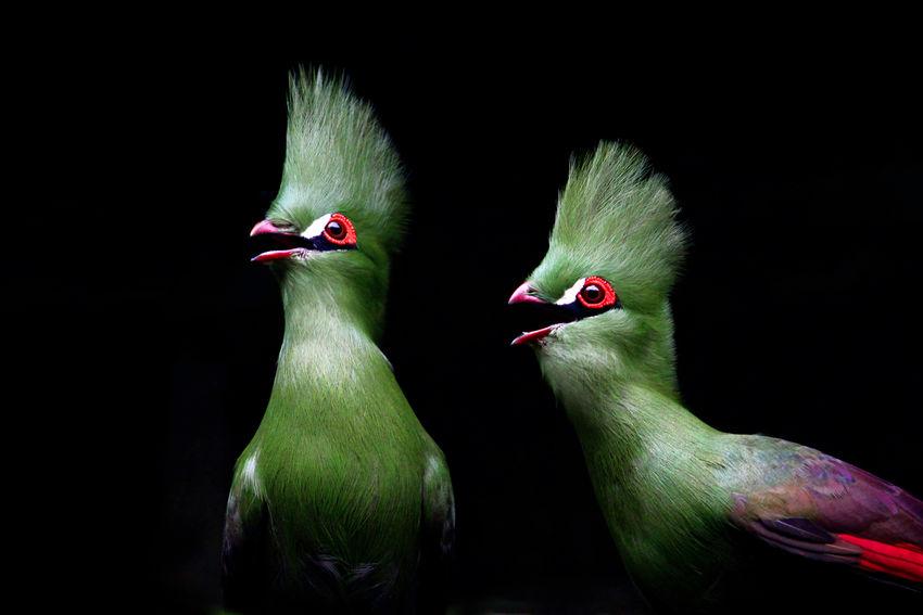 Turaco Bird. Turaco bird Green Color EyeEm Animal Lover bird of eden Wildlife Beauty In Nature South Africa Exoticism Market Bestsellers Feb 2016