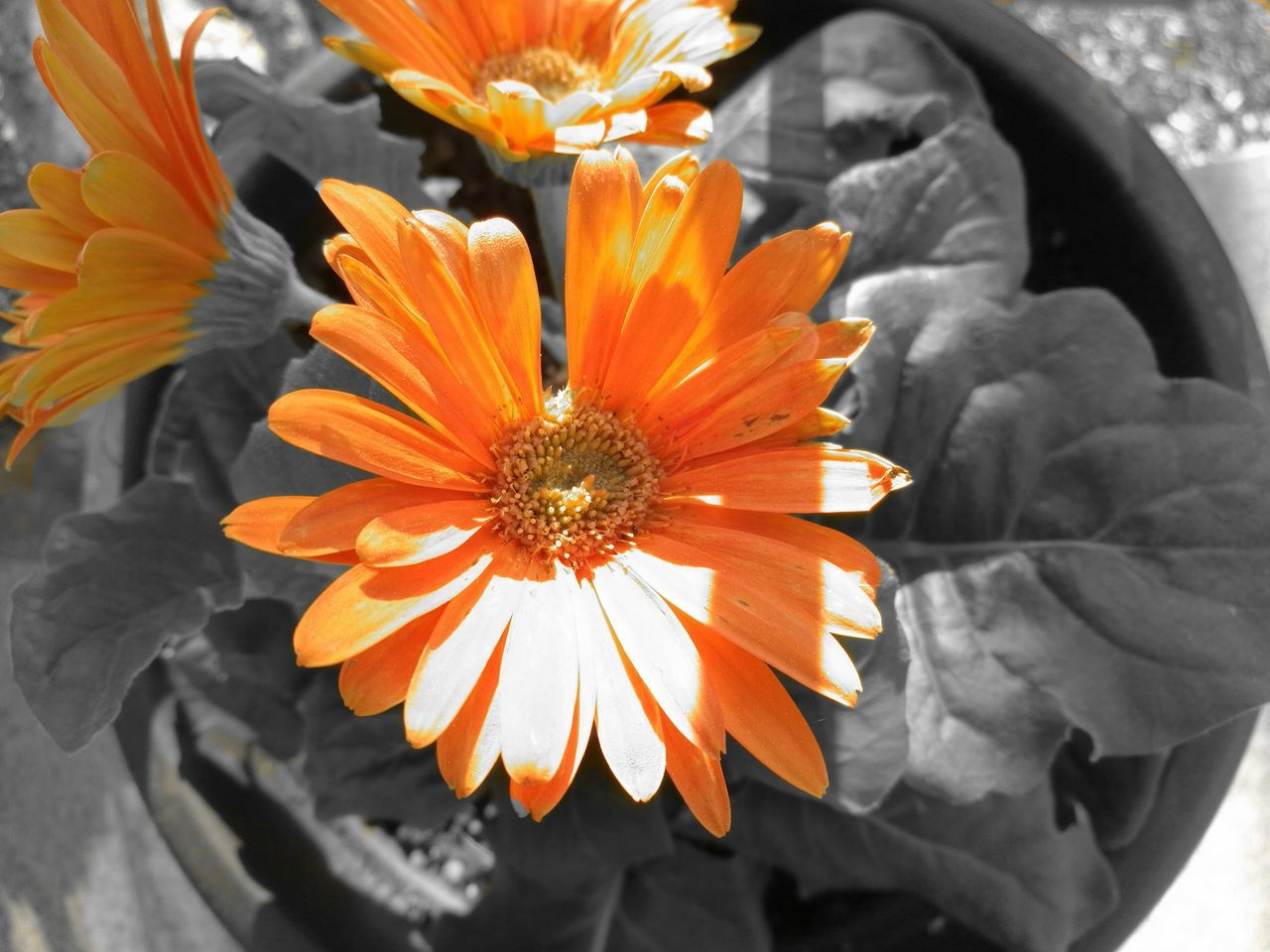 Flower Orange Color Petal Flower Head Beauty In Nature Nature Freshness Fragility Plant Outdoors Day No People Close-up Growth Animal Head  Nature Summer Travel Destinations Beauty In Nature The Great Outdoors - 2017 EyeEm Awards Honor8 High Contrast Edit Splash Of Color Black And White