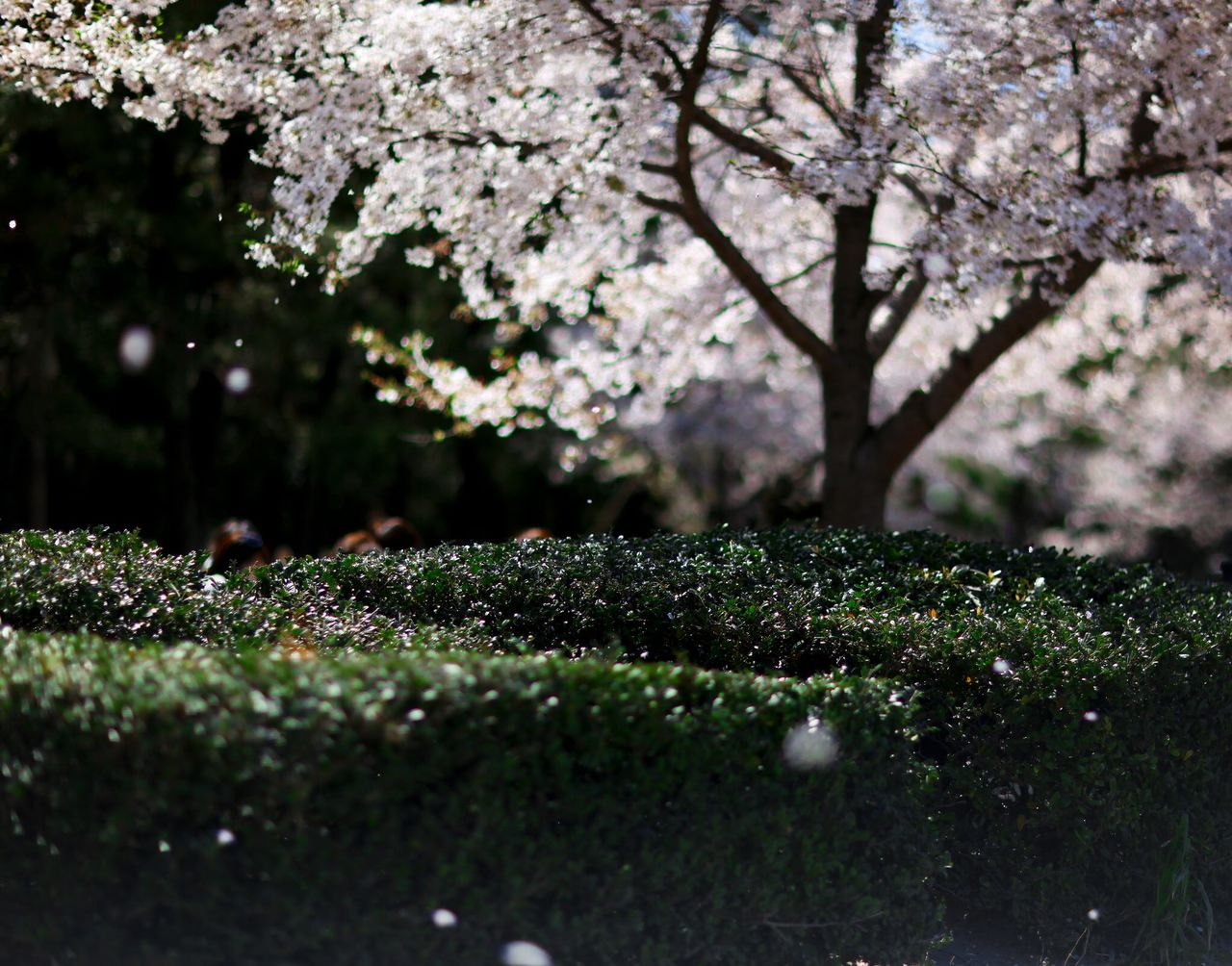 Traveling Japan Tokyo Spring Flowers Cherry Blossoms