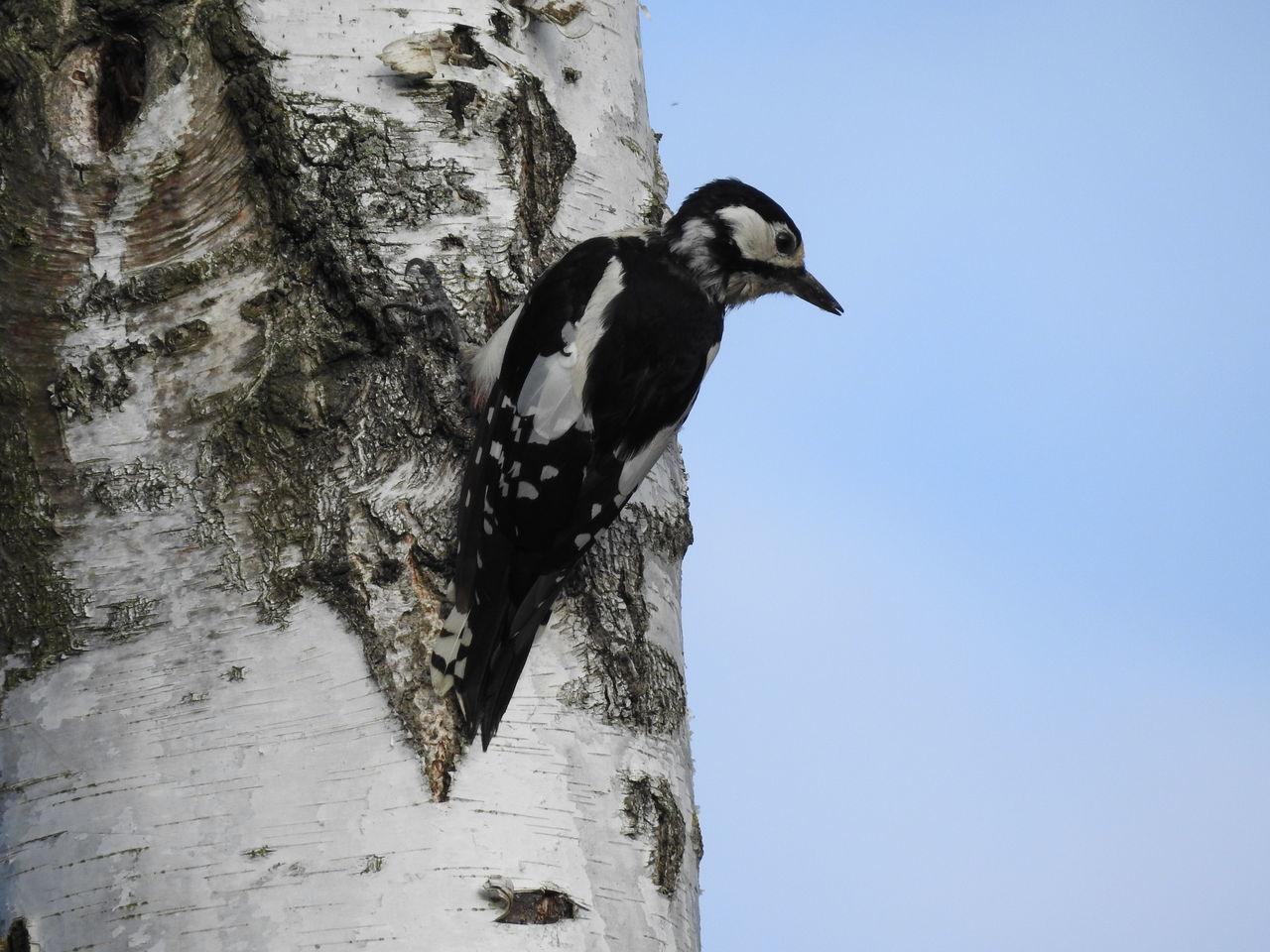 Beautiful stock photos of woodpecker,  Alertness,  Animal Head,  Animal Themes,  Animals In The Wild